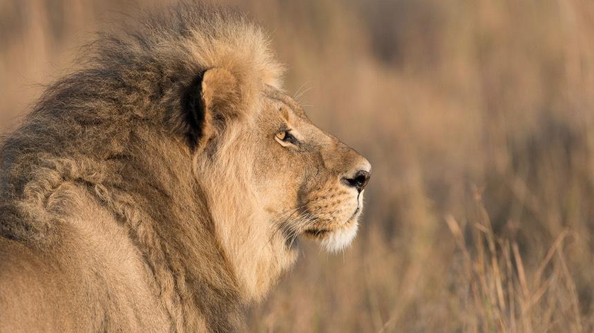 Lion side view face roar - photo#4