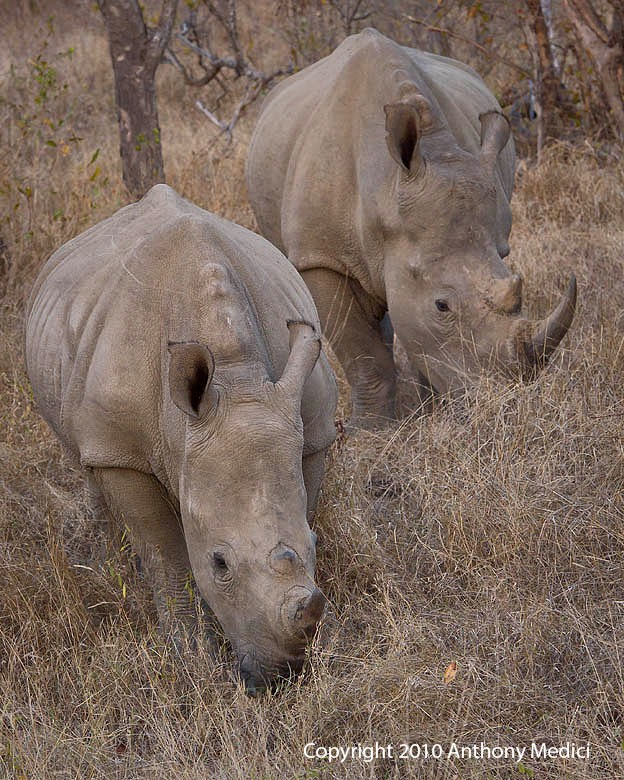 STUDENT AM 3S014258-White-Rhino-with-Juvenile.JPG